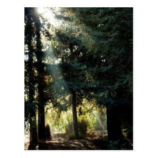 Redwood Trees In The Morning Postcard
