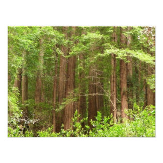 Redwood Trees Photo Print