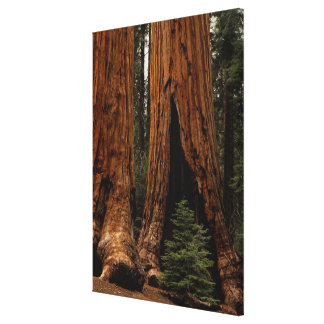 Redwood Trees, Sequoia National Park. Canvas Print