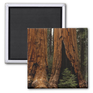 Redwood Trees, Sequoia National Park. 2 Inch Square Magnet