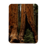 Redwood Trees, Sequoia National Park. Magnet