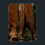 "Redwood Trees, Sequoia National Park. Magnet<br><div class=""desc"">COPYRIGHT Jerry Ginsberg / DanitaDelimont.com 