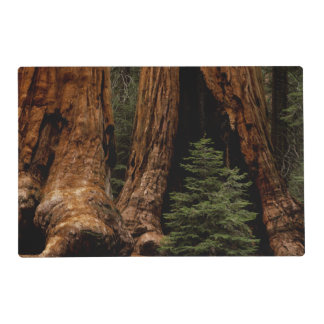 Redwood Trees, Sequoia National Park. Laminated Placemat