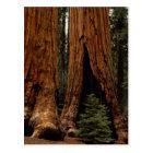 Redwood Trees, Sequoia National Park. Postcard