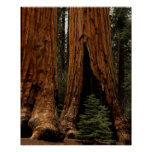 Redwood Trees, Sequoia National Park. Poster