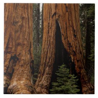 Redwood Trees, Sequoia National Park. Large Square Tile