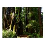 Redwoods and Ferns at Redwood National Park Postcard