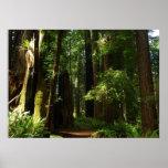 Redwoods and Ferns at Redwood National Park Poster