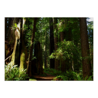 Redwoods and Ferns at Redwood National Park Poster