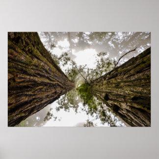 Redwoods at Lady Bird Johnson Grove Poster