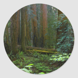 Redwoods In Muir Woods National Park Classic Round Sticker