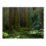 Redwoods In Muir Woods National Park Postcard