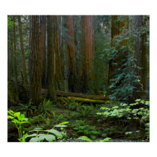 Redwoods In Muir Woods National Park Poster