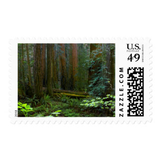Redwoods In Muir Woods National Park Stamp