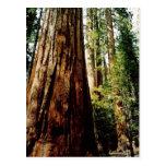 Redwoods in Yosemite Post Cards