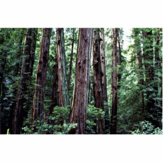 Redwoods - Muir Woods National Monument Cut Outs