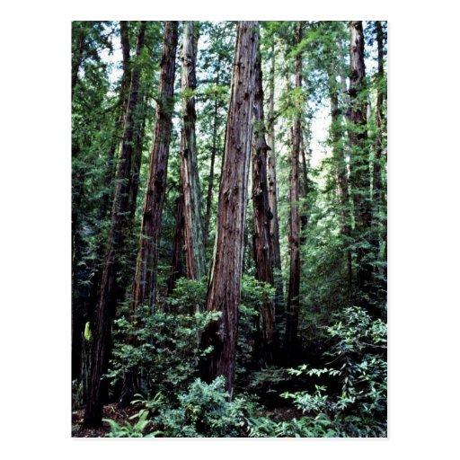 Redwoods - Muir Woods National Monument Postcard