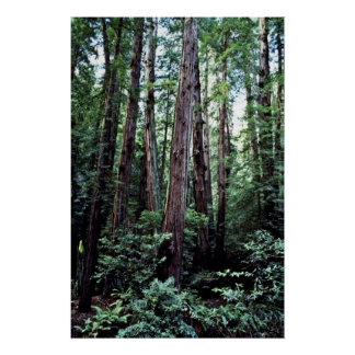 Redwoods - Muir Woods National Monument Poster