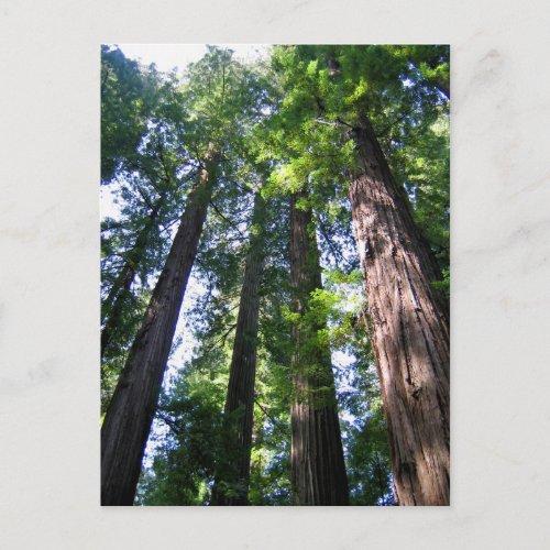 Redwoods Postcard