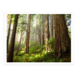 Redwoods Postcards