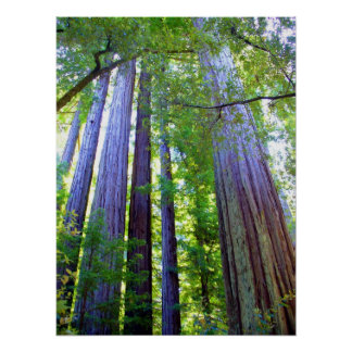 Redwoods Print