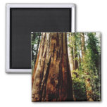 Redwoods- Yosemite 2 Inch Square Magnet
