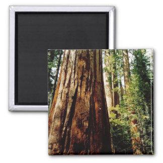 Redwoods- Yosemite 2 Inch Square Magnet