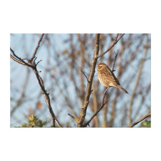 Reed Bunting Canvas Print