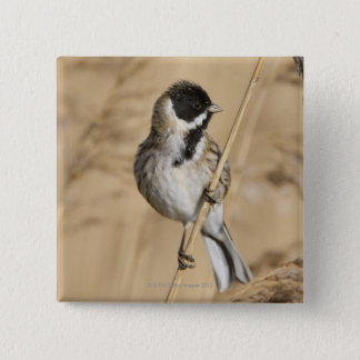 Reed Bunting (Emberiza schoeniclus) perched in Button