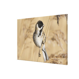 Reed Bunting (Emberiza schoeniclus) perched in Canvas Print