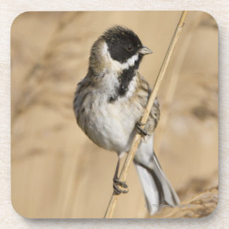 Reed Bunting (Emberiza schoeniclus) perched in Coaster