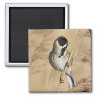 Reed Bunting (Emberiza schoeniclus) perched in Magnet