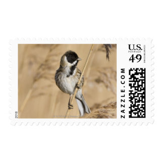 Reed Bunting (Emberiza schoeniclus) perched in Stamps