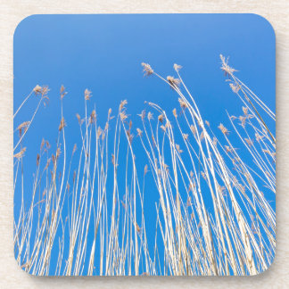 Reed stems with plumes against blue sky in spring coaster