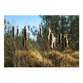 Reeds in the Wind Postcard