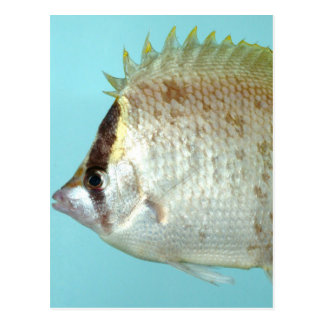Reef Butterfly fish Postcard