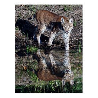 Reflections of a Siberian Lynx Postcard