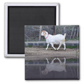 Reflections of a white goat, magnet