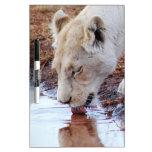Reflexión blanca africana del león pizarras blancas