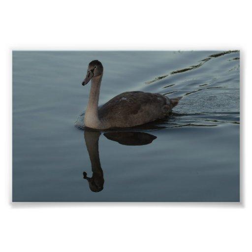 Reflexión del pollo del cisne impresiones fotograficas