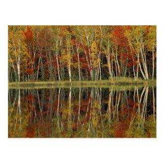 Reflexiones del follaje de otoño y del abedul; Hia Postal