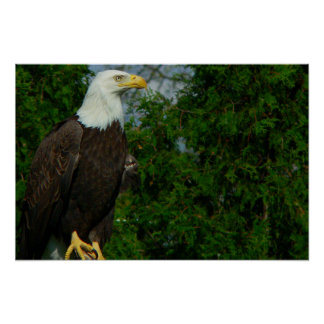 Regal American Bald Eagle Poster