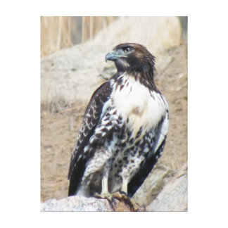 Regal and Majestic Red-Tailed Hawk Canvas