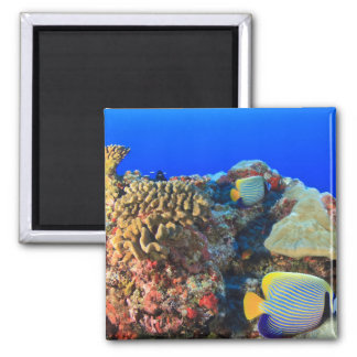 Regal Angelfish Pygoplites diacanthus), 2 Inch Square Magnet