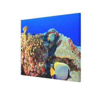 Regal Angelfish Pygoplites diacanthus), Canvas Print