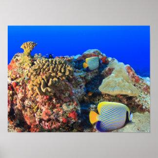 Regal Angelfish Pygoplites diacanthus), Poster