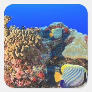 Regal Angelfish Pygoplites diacanthus), Square Sticker