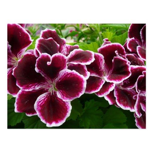 Regal Geranium Flowers Postcard
