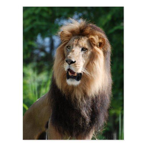 Regal Lion Postcard