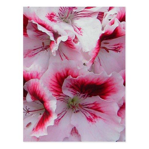 Regal Pelargonium Postcard